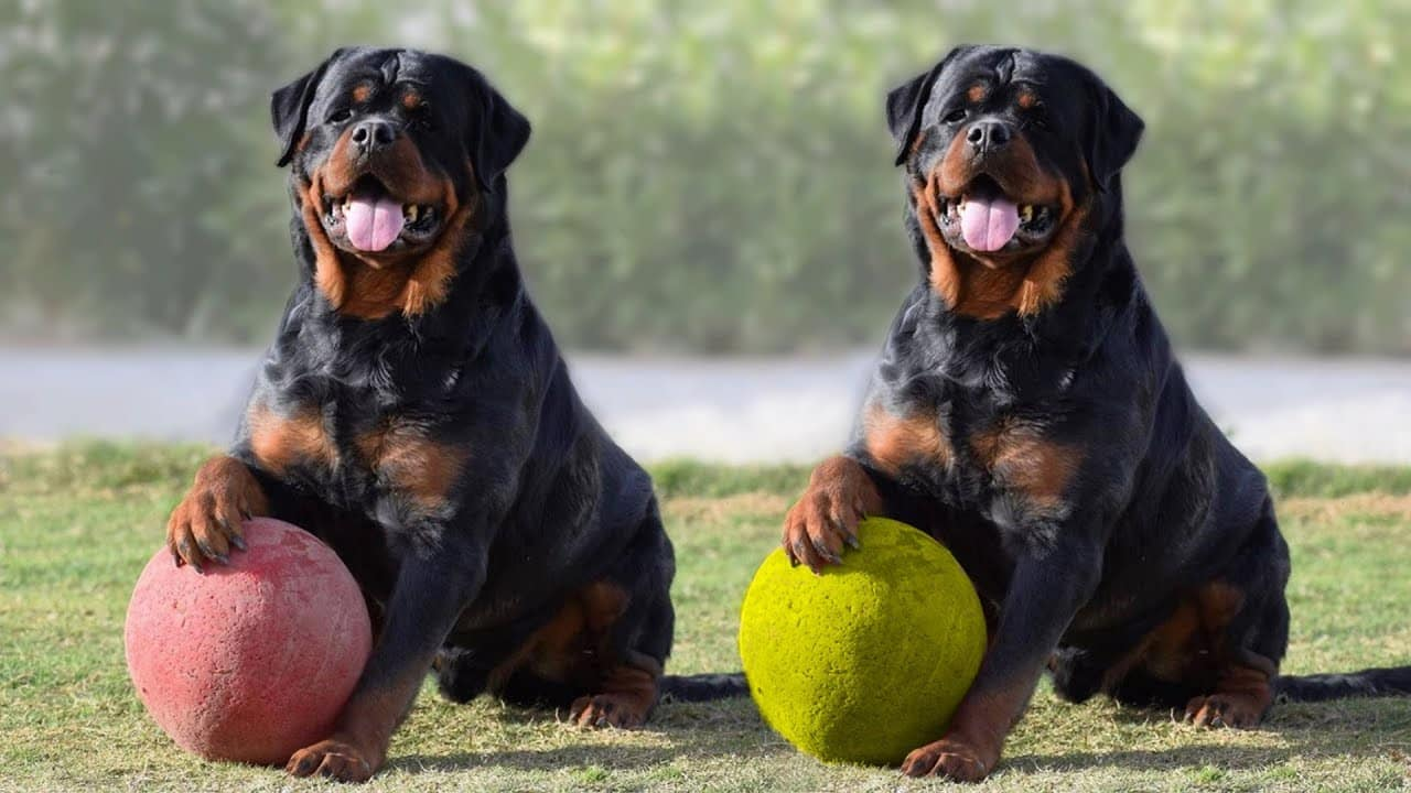 Rottweiler Training Guide
