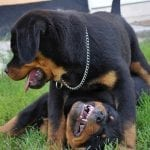 rottweilers playing