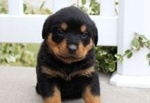 Rottweiler Puppies Price