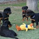 rottweiler-puppies-playing-in-the-back-yard1