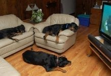 Rottweiler Off the Furniture