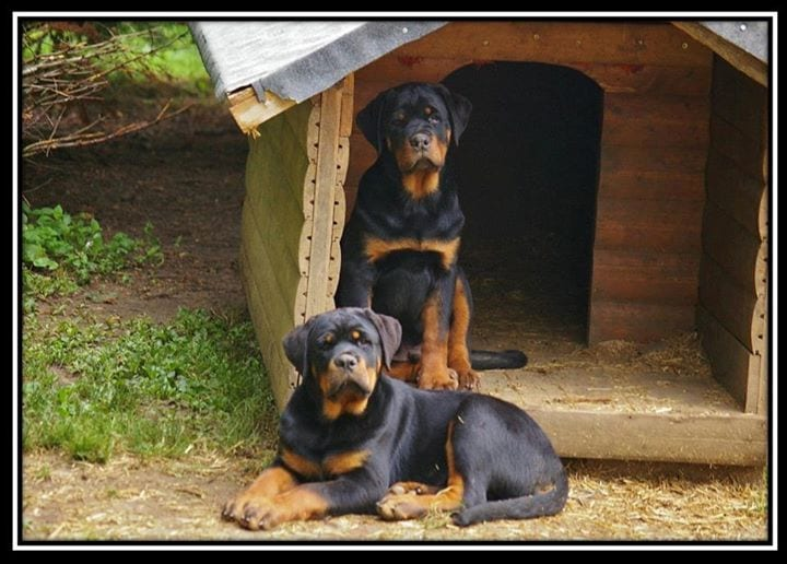 rottweiler facts
