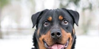 why your rottweiler is always thirsty