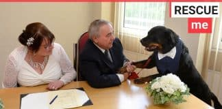 A Rottweiler acts as best man at owners wedding
