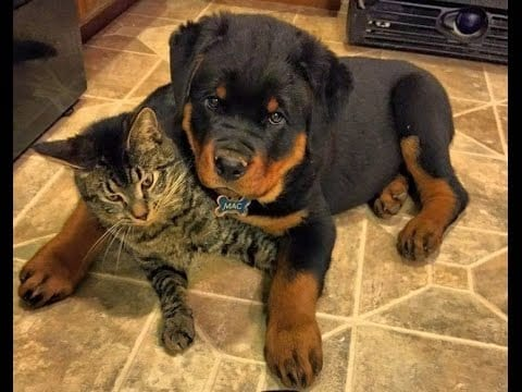 rottweiler and cats