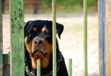 Rottweiler Behavior