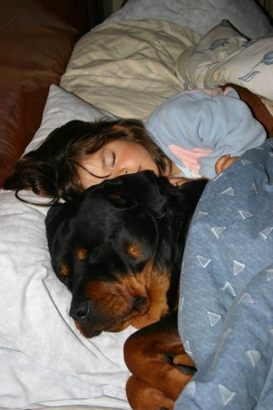 10 Signs Prove That Rottweilers Are Dangerous For You Kids!