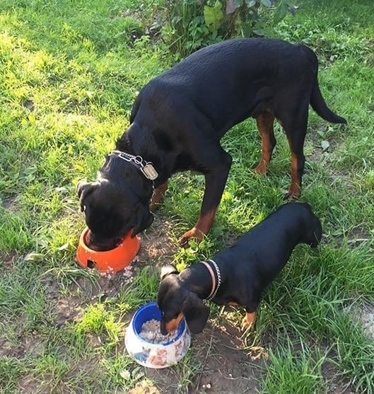 Rottweilers eating