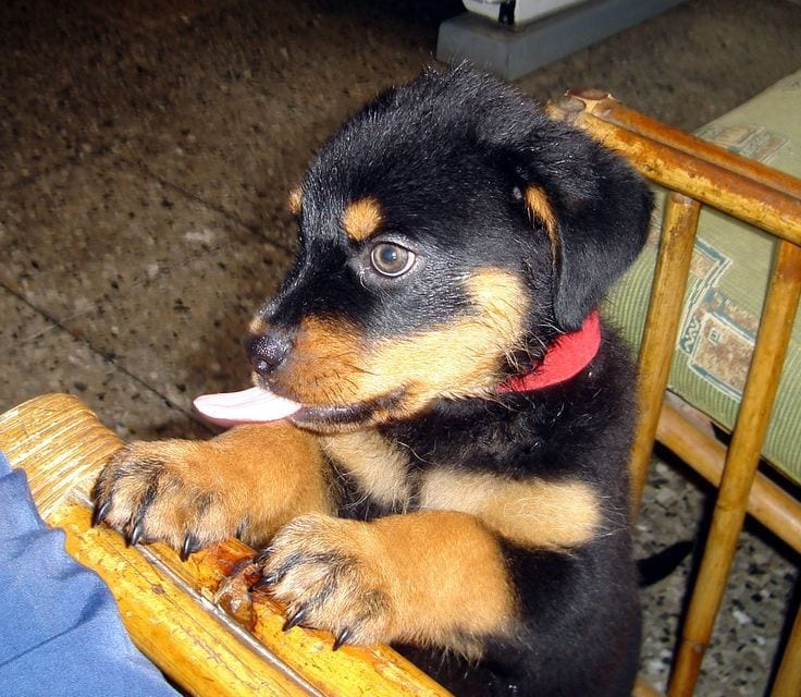 12 Signs You Are Crazy About Rottweilers