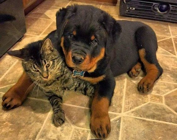 rottweiler and a cat