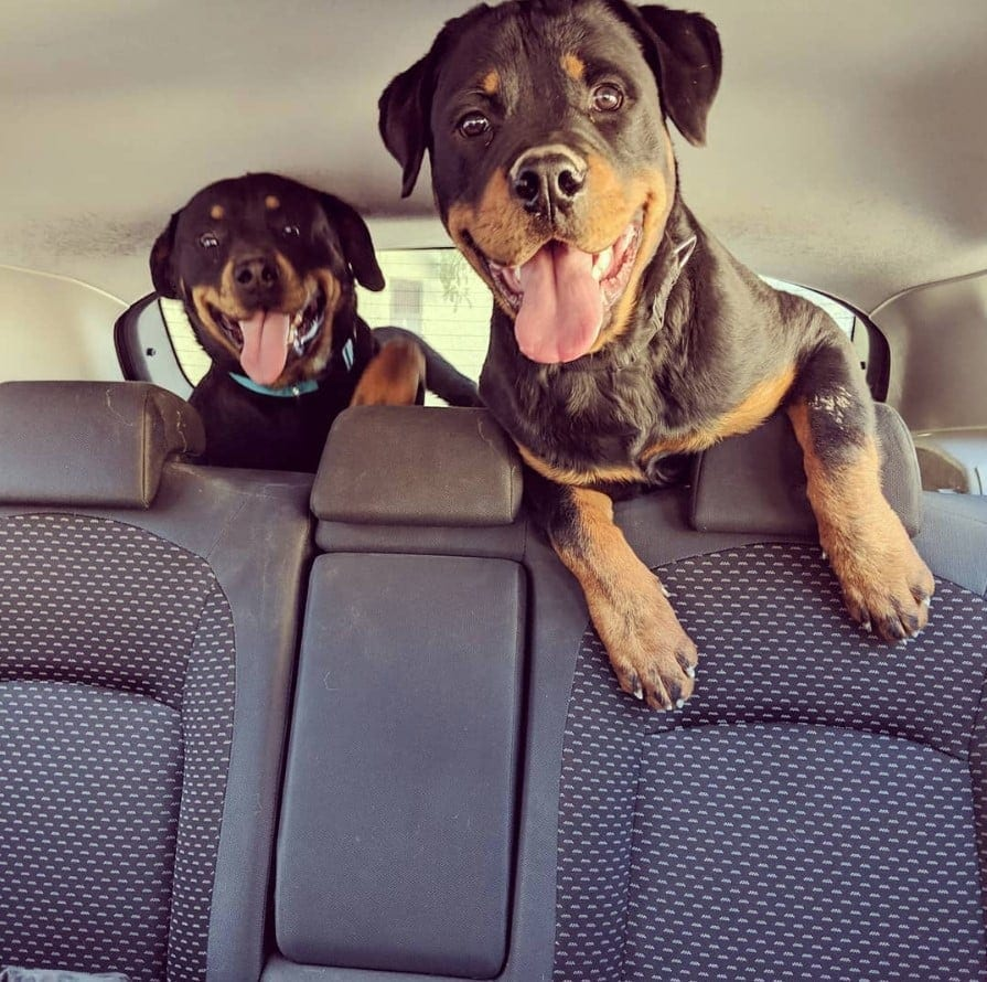 25 Foods You Should Never Feed Your Rottweiler