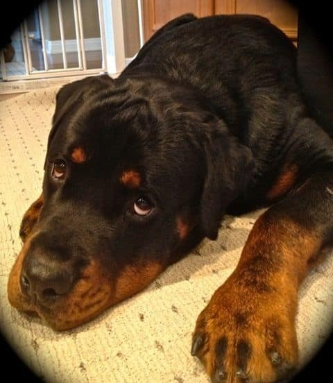 14 Things Rottweiler Owners Know So Well